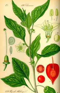 illustration_physalis_alkekengi.jpg