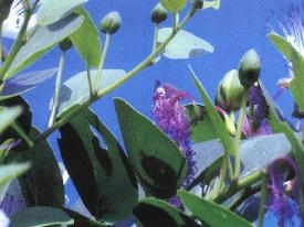 kapari_fruit_flowers.jpg
