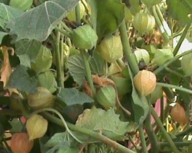 ostar_physalis_peruvian_select-090909_fruit.jpg